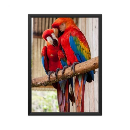 black framed poster of two multi colored parrots, mainly red in color, perched on a branch