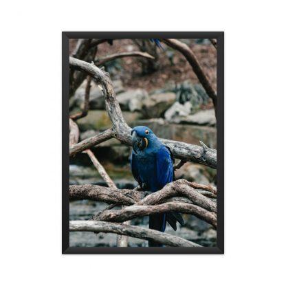 Black framed poster of blue parrot admist branches